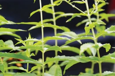 Herbs to Grow (Serious Adventures) or Buy | San Diego Reader