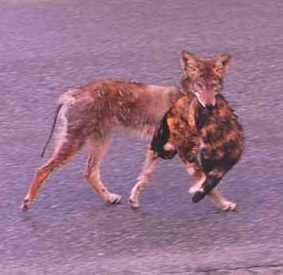 Do Coyotes Eat Small Dogs