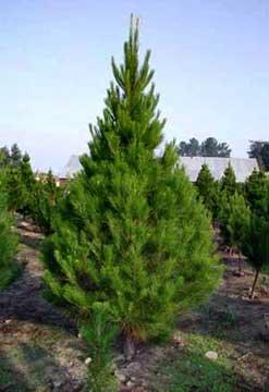 Xmas Tree Farms