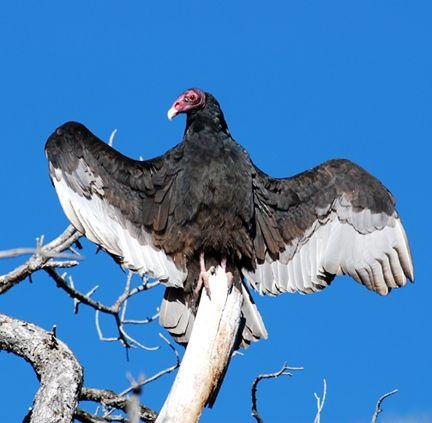 The Welcome Back Buzzards birding festival in Superior, Arizona, welcomes back turkey vultures.