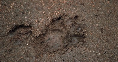 Mountain lion and deer tracks on the San Juan Trail suggest there was a terrific chase.