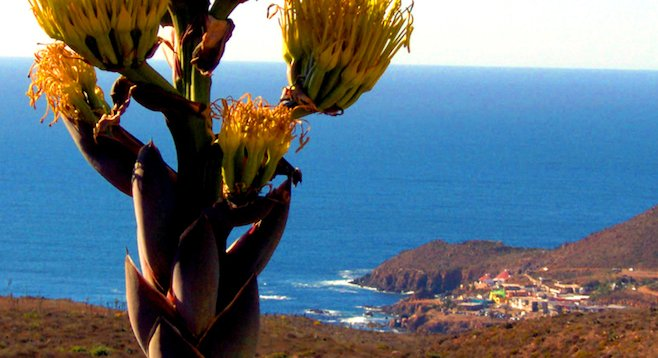Yucca flower, overlooking La Bufadora