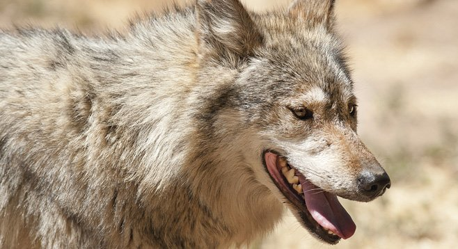 Only 50 Mexican wolves live in the wild in the United States.