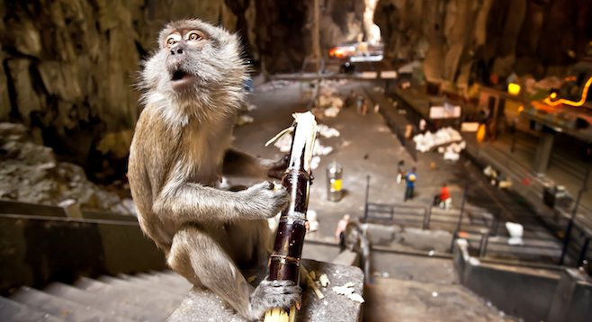 """It smells like sh*t in here."" Macaque posing in Malaysia's Batu Caves."