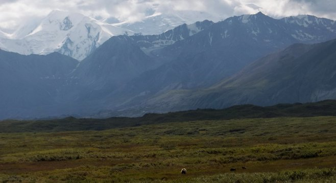 A mother grizzly and her two cubs on the breathtaking Denali tundra.