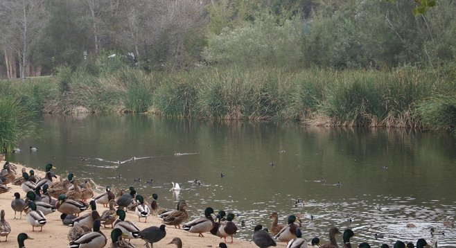 Hundreds of waterfowl, mostly mallards and coots, wait for a handout at the duck pond near the trailhead.
