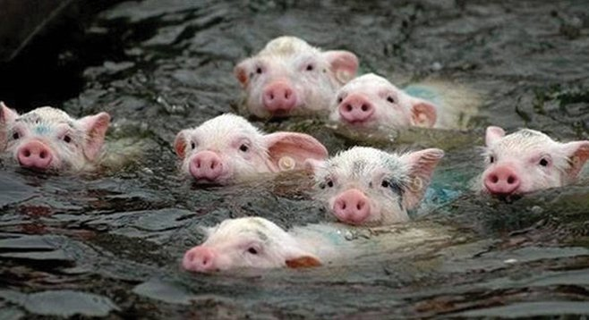 It's true, pigs can swim, and if that doesn't scare you, bucko, you are not born of woman.
