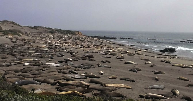 Twelve miles up Highway 1 from Cambria, some 17,000 seals call the P