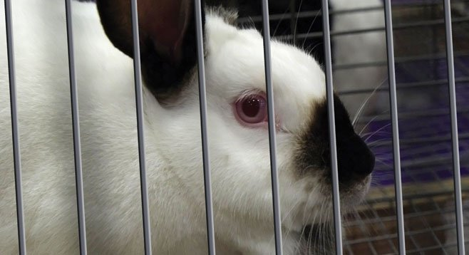 UCSD housed a rabbit without providing it with water.