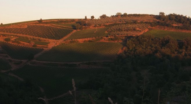 Chianti vineyards in the late afternoon sun, Greve in Chianti.