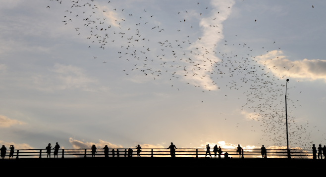 Nightly emergence of bats from under downtown Austin's Congress Bridge. (stock photo)