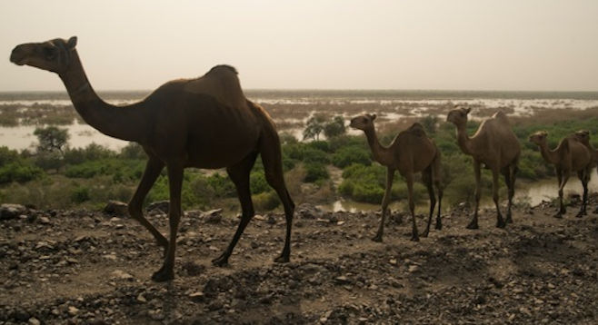 Camels in procession, Ethiopia (stock photo).