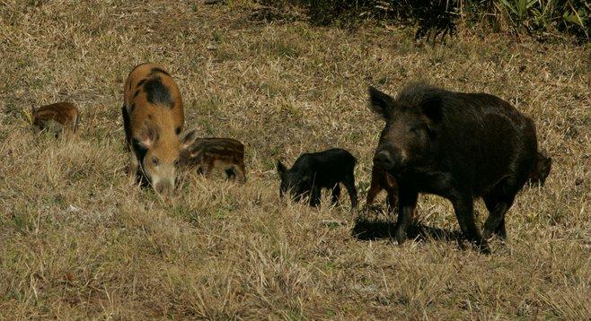 Just lookit all them piggies!