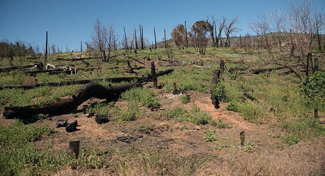 The controlled burn killed all or most of the lilacs and young black oaks, leaving a weedy wasteland.