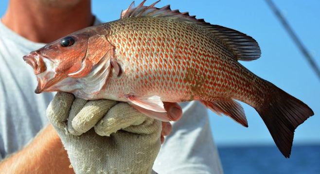 Mangrove snapper caught off Alabama's Gulf Coast. State limits are 10 fish a person.