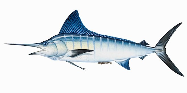 Illustration of a striped marlin