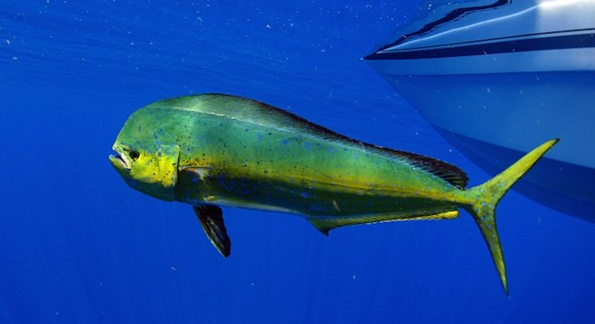 Dorado (aka mahi-mahi or dolphin fish)