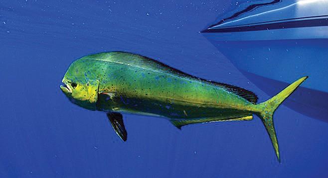 The dorado gave a bigger fight than the tuna