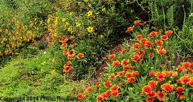 Natives cover the hillside - providing views for neighbors and nectar and seeds for the birds