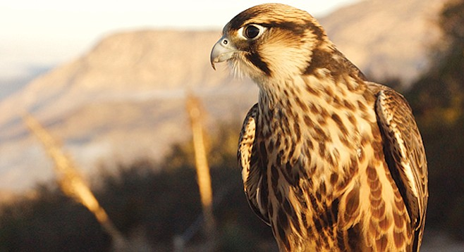 Habibi the Lanner Falcon