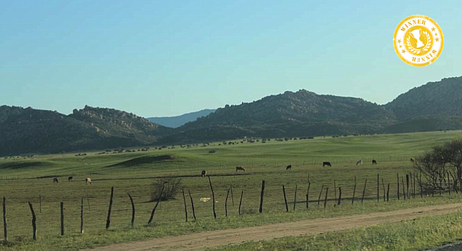 Free-range cows graze in Ojos Negros valley.