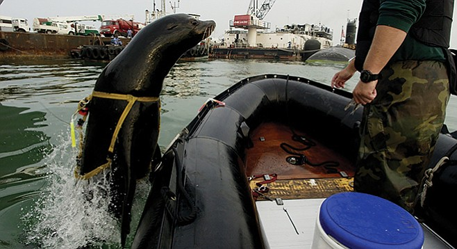 A 375-pound California sea lion leaps back into the boat after a harbor-patrol training mission with the U.S. Navy.