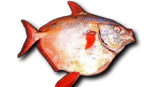 Opah, or moonfish