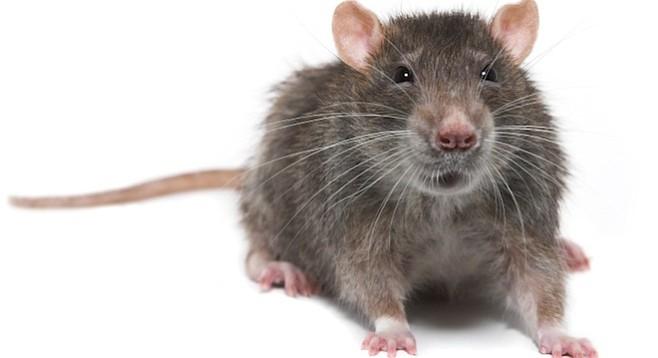 Rats San Diego Reader