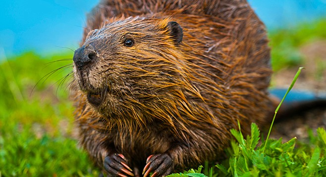 "Whatever you do, don't Google ""beaver"" and ""anal"""