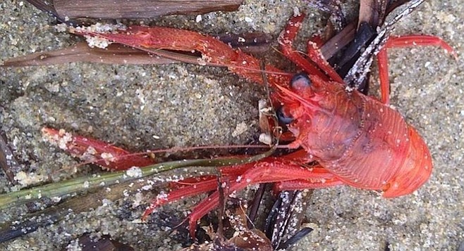 One of hundreds of tuna crabs that have washed ashore Fiesta Island.