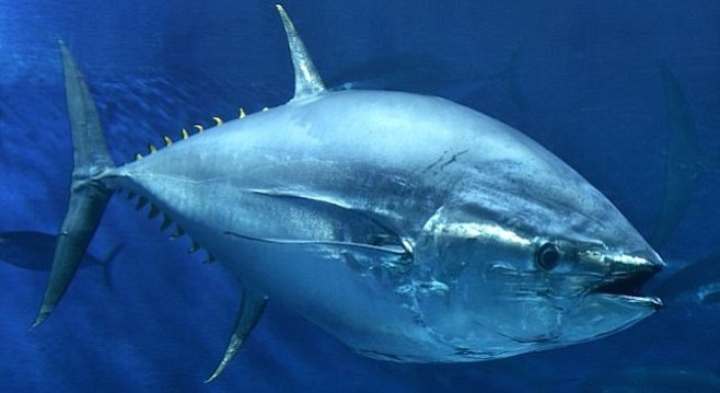 The hard-fighting, highly-sought (and protected) bluefin tuna.