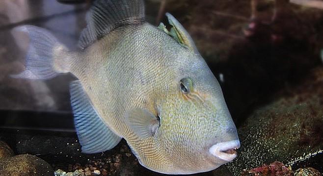 Finescale triggerfish.