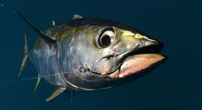 Yellowfin tuna (also known as bigeye)