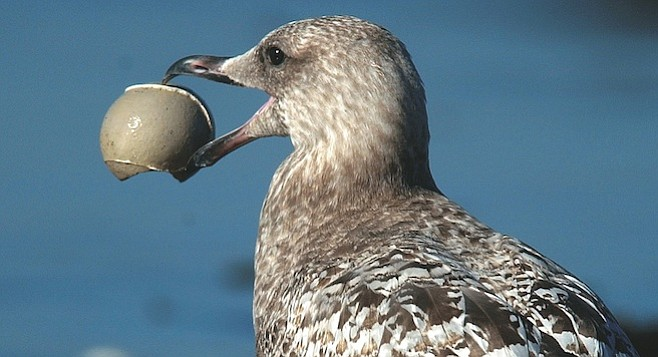 """First-Winter Western Gull, our only resident gull. """"Why would anyone ever want to leave San Diego?"""""""