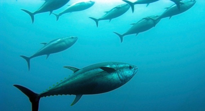 San Diego has seen epic tuna catches the past few years