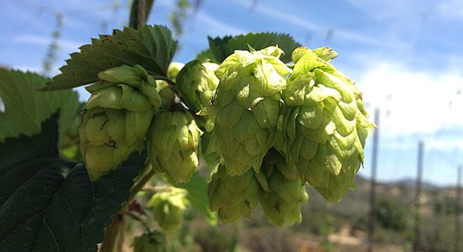 Hops growing at Nopalito Farm this summer.
