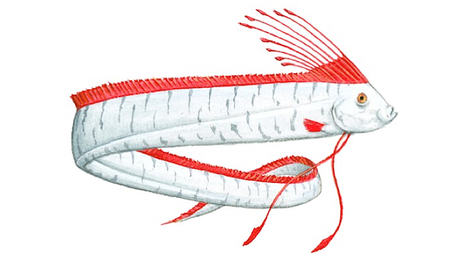 Illustration of Oarfish (Regalecus glesne), deep sea fish with long, silver body, red crest on top of head, and red dorsal fin