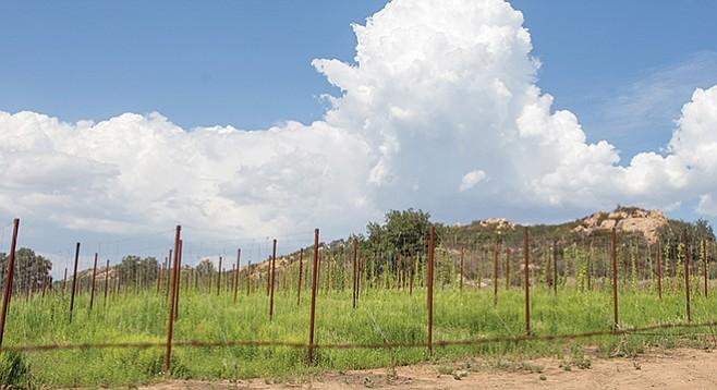 Hops grow on the Star B Ranch in Ramona