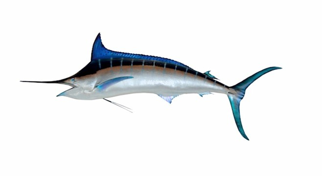 Blue marlin can be found not far offshore