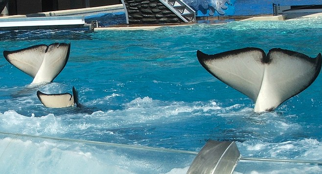 To placate park-goers, SeaWorld trainers have taught Taku, Katina, and Kalani to hang their heads in shame.