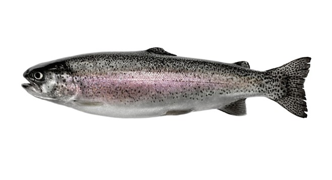 Santee Lakes will plant 1000 pounds of rainbow trout on November 20