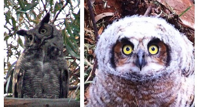 Photos of owls taken within South Park's 28th Street canyon.