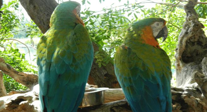 Rare Bahamian parrots on Grand Bahama Island. Years ago, islanders ate them nearly to extinction.