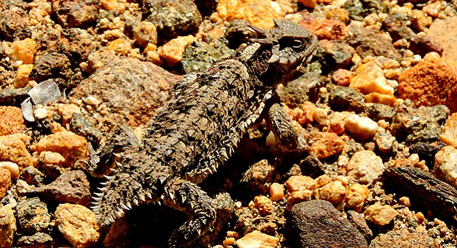 A horned lizard hides in plain sight on the trail.