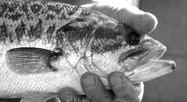 """Florida-strain largemouth bass. """"We cut this fin off. It doesn't really affect the mobility of the fish."""""""