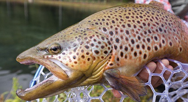 What do brown trout eat? Small rainbows!