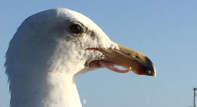 """He's """"just fine,"""" say observers keeping tabs on this seagull"""