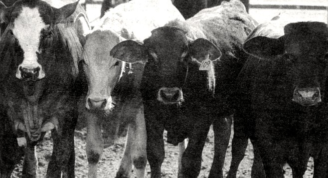 """Cattle at experimental feedlot facility. """"We consume all of the grease that's produced in San Diego and L.A. right down here in this feedlot."""""""