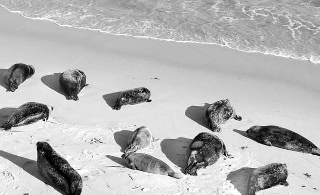 """Harbor seals at Children's Pool. """"When people go too close to the seals, and one seal gets frightened, she'll often panic into the water, and that causes all the other seals to flush into the water."""""""