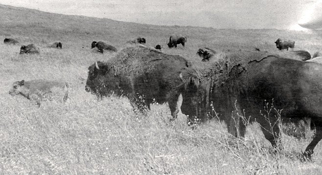 Bison herd, Camp Pendleton. In 1991, a pickup slammed into a bison on Basilone Road, deep in the heart of the base. The truck took a beating, but the bison came out okay.